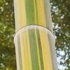 【えっ?金色に輝く竹?】京都の竹林に突然出現した「金色の縦じま竹」
